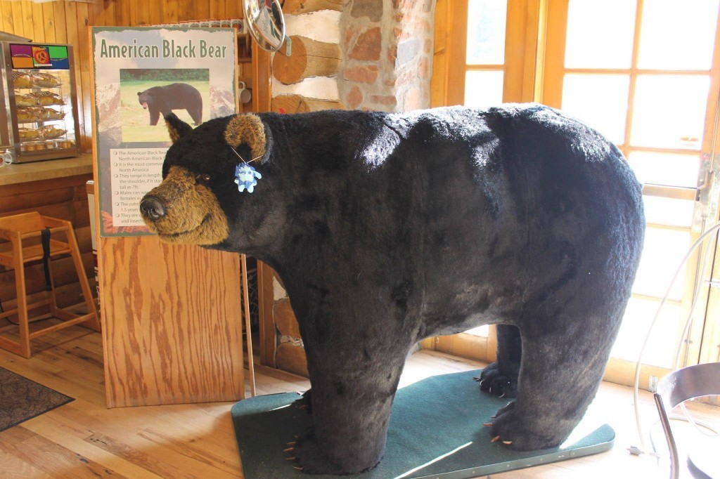 Vagabundi conoció un oso negro