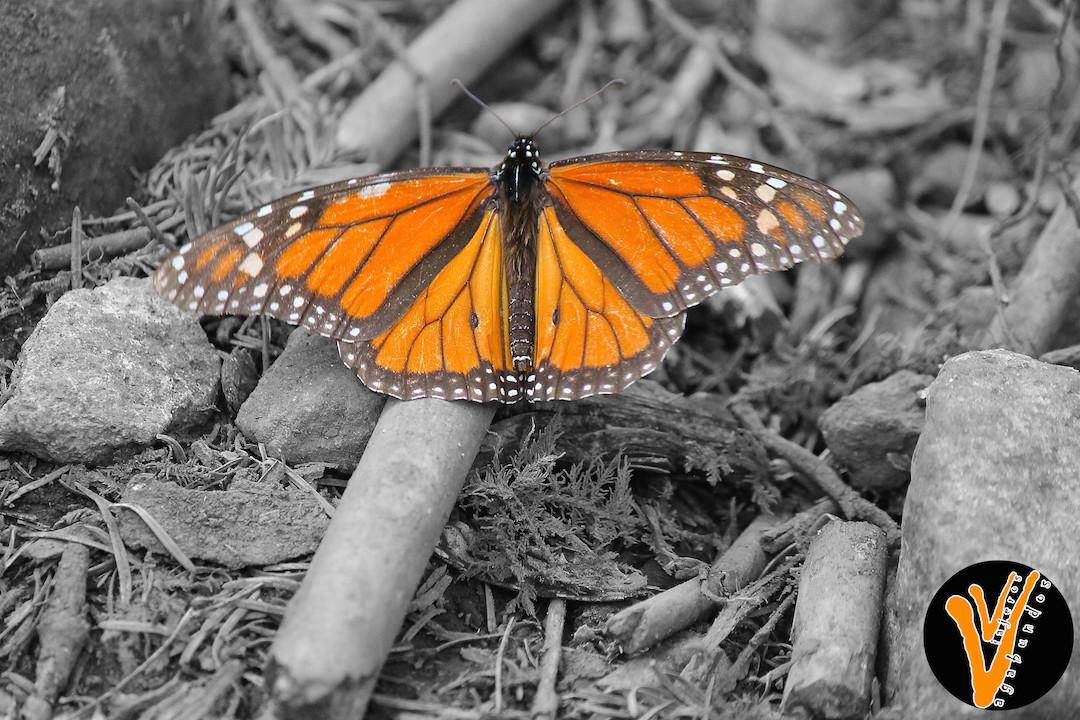 Conociendo a la Reina de Michoacán, la Mariposa Monarca