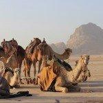 camellos y gui en wadi rum